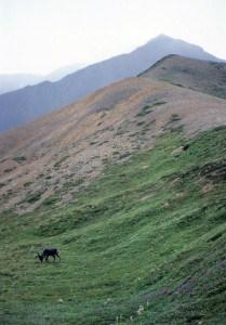 Caribou at DeNali Alaska 1986